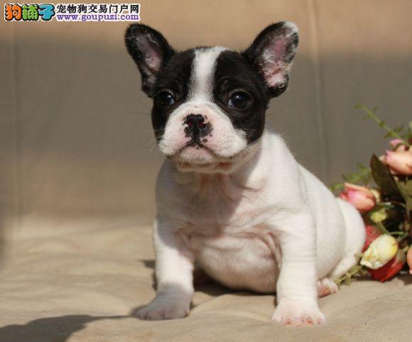 纯血统法国斗牛犬幼犬 顶级品质专业繁殖 三年质保协议