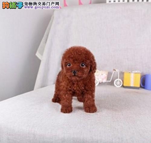 CKU犬舍认证出售高品质深圳茶杯犬期待您的光临