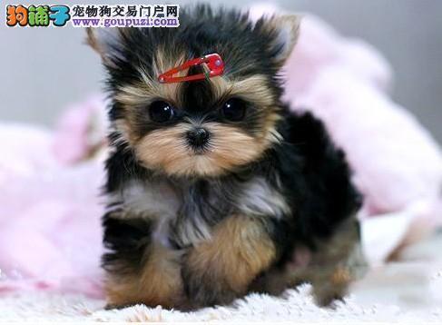 高品质约克夏幼犬、欢迎选购信誉第一,实物拍摄可见父母、质保全国送货