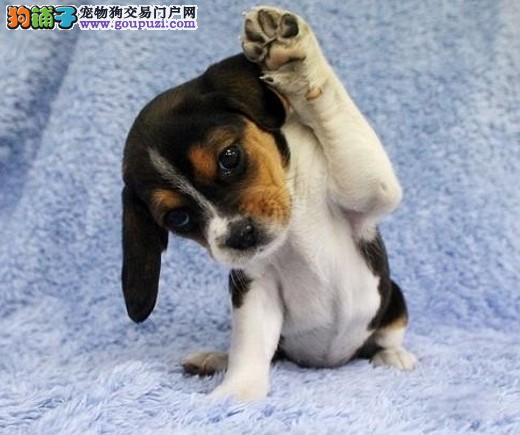 CKU犬舍认证武汉出售纯种比格犬请您放心选购