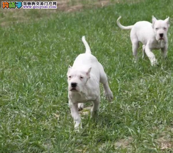 专业的杜高犬犬舍终身保健康可直接视频挑选
