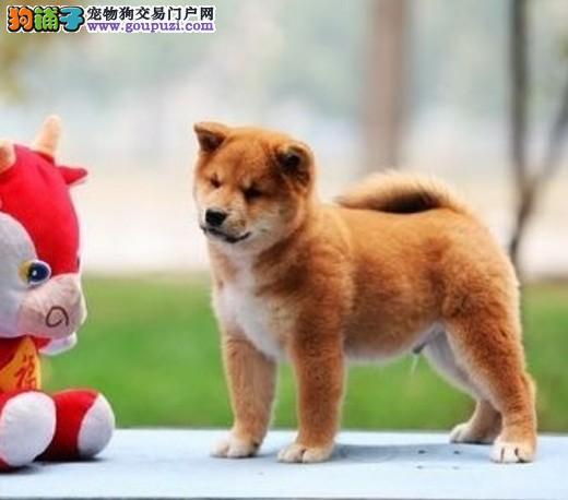 出售柴犬幼犬品质好有保障CKU认证绝对信誉保障
