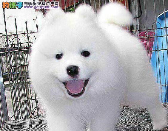 遵义本地出售高品质萨摩耶宝宝签订协议包细小犬瘟热