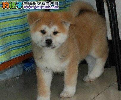 完美品相血统纯正黔南州秋田犬出售喜欢微信咨询