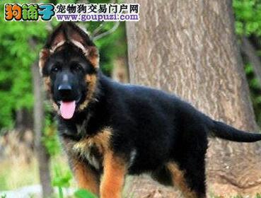 德国牧羊犬天津 如何挑选德国牧羊犬幼犬
