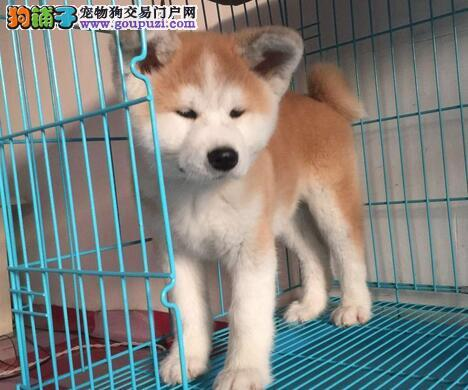 出售身体十分强健的杭州秋田犬 欢迎大家上门挑选
