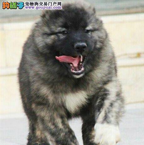 俄罗斯血系高大威猛的呼和浩特高加索犬低价出售中
