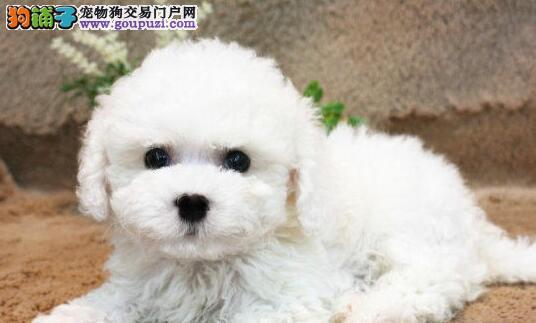 赛级品相天津比熊幼犬低价出售专业繁殖中心值得信赖