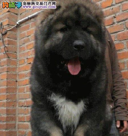 高加索CKU认证犬舍自繁自销微信咨询看狗狗照片