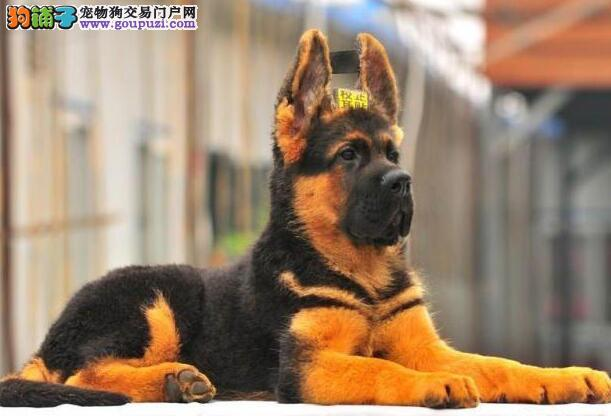 自家大狗繁殖的德国牧羊犬低价出售 南昌周边可送狗