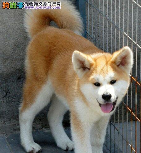 金黄色白爪子肌肉饱满的秋田犬低价出售 淄博市内送货