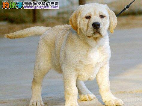 转让淄博自家繁殖的拉布拉多犬 建议大家上门看狗