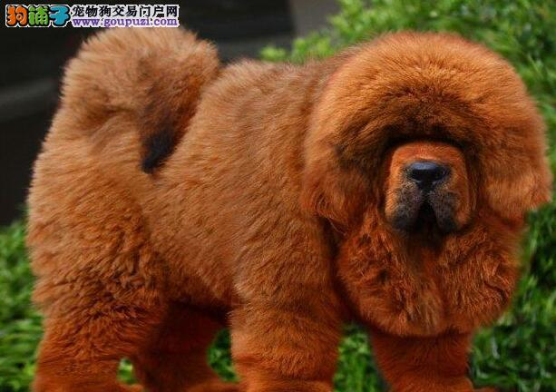 纯种藏獒幼犬出售 红獒 黄獒 铁包金藏獒 雪獒