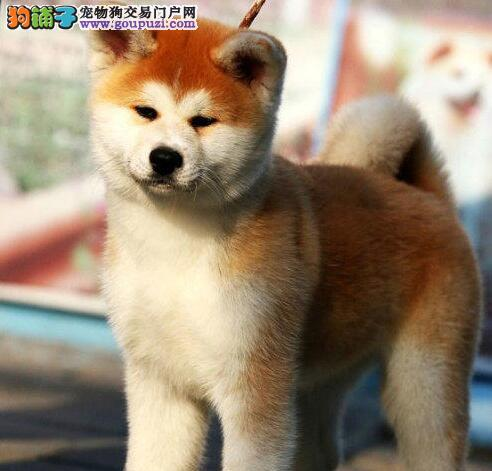 固原出售秋田犬幼犬品质好有保障可以送货上门