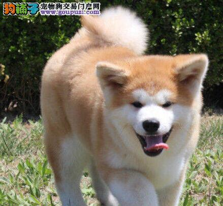 苏州家养日系赛级秋田犬出售带血统证书