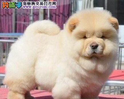 狗场直销大毛量紫舌苏州松狮犬协议购买