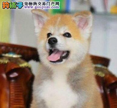 转让纯日系健康银川秋田犬毛色亮丽赠送狗狗用品