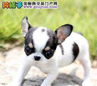 出售超小体纯血墨西哥血统的杭州吉娃娃 狗贩子勿扰
