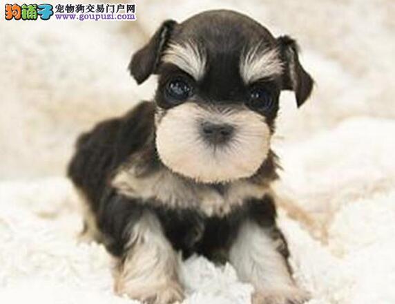纯种雪纳瑞CKU认证犬舍西安出售 健康有保障 正规狗场