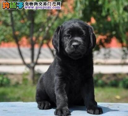 大脑袋短毛完美品相的桂林拉布拉多犬出售中 非诚勿扰