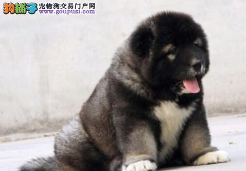 广州本地犬舍直销俄系高加索犬 血统纯已做好疫苗驱虫