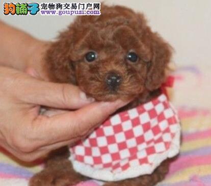 完美品相血统纯正上海贵宾犬出售上海市内免费送货