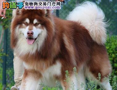 高品质阿拉斯加雪橇犬低价处理中 西安周边地区送货