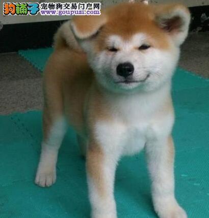 白城养殖场直销完美品相的秋田犬价格美丽品质优良