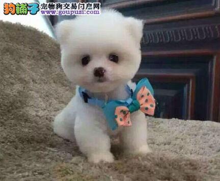 北京正规犬舍繁殖出售优质哈多利版博美犬 血统纯正