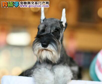 赤峰出售极品雪纳瑞幼犬完美品相最优秀的售后