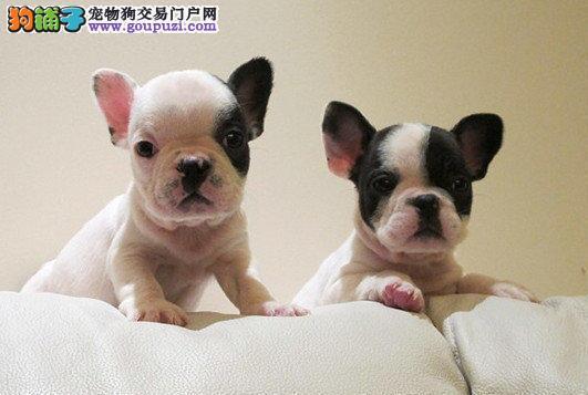 西安出售法国斗牛犬幼犬品质好有保障CKU认证品质绝对保障