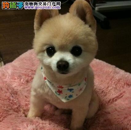 自家繁殖纯种长沙博美犬出售球形多种颜色