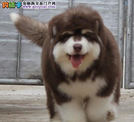 狗场直销顶级阿拉斯加雪橇犬长沙市区购犬可优惠