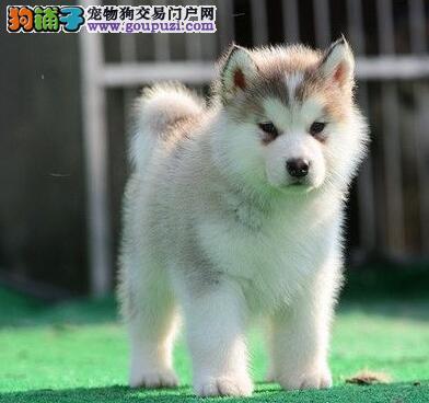 出售自家繁殖的合肥哈士奇幼犬 品质血统均有保障