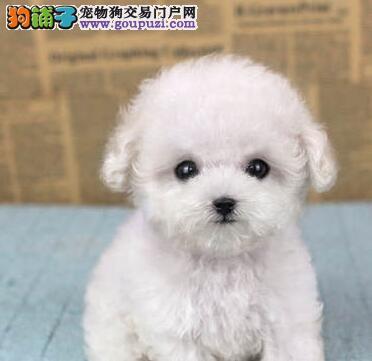 精品泰迪犬热卖中、国际血统品相好、讲诚信信誉好