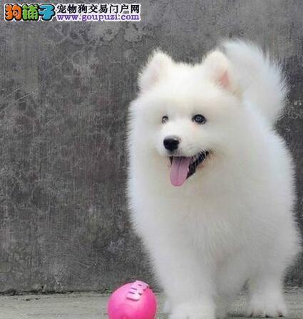 专业繁殖纯种萨摩耶幼犬直销(品质健康保证)