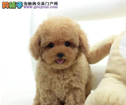 徐州专业繁殖场出售健康纯种的泰迪犬 2~4窝可以挑选