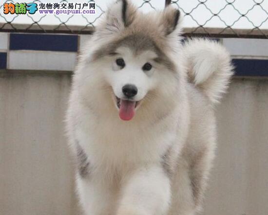 出售纯种十字脸和桃脸的阿拉斯加幼犬 可爱健康质保