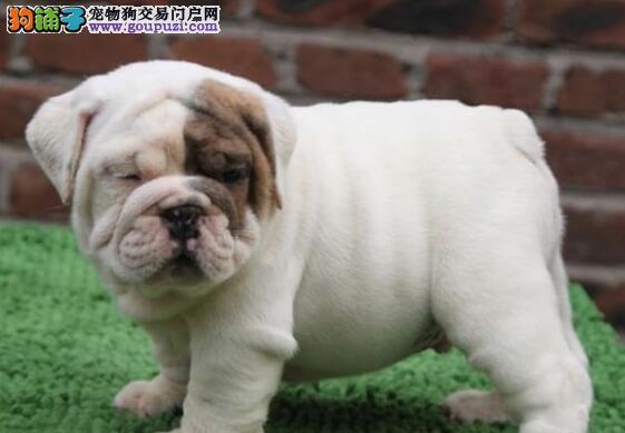 直销出售多只可爱斗牛犬 广州最大犬舍可放心购买