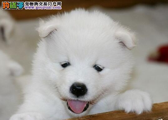出售萨摩耶幼犬、保证品质一流、购犬可签协议