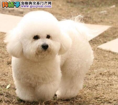 郑州犬舍低价热销 比熊血统纯正优惠出售中狗贩子勿扰
