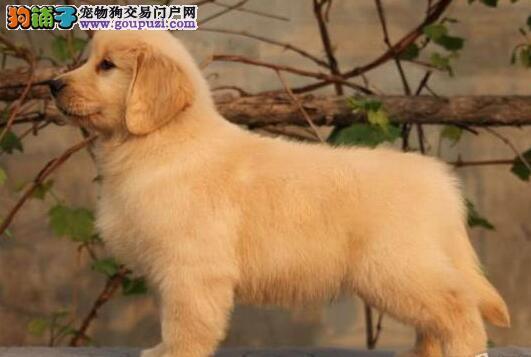 出售多只优秀的金毛可上门微信看狗可见父母