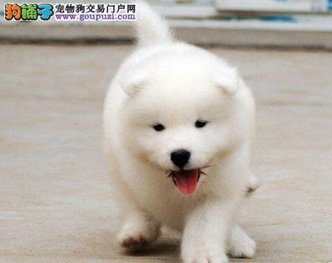颜色全品相佳的萨摩耶纯种宝宝热卖中微信咨询视频看狗