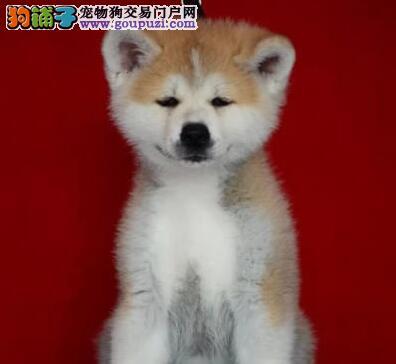 大型专业培育秋田犬幼犬包健康包养活送用品