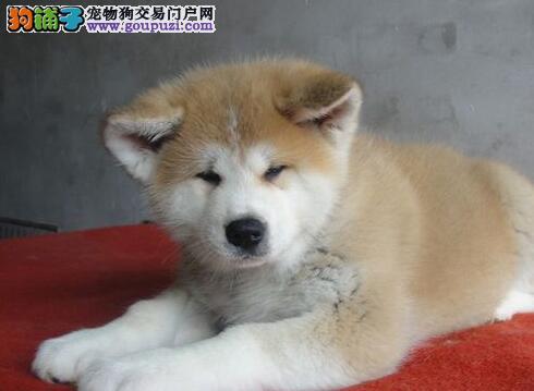 犬舍直销高品质日系秋田犬济南市区可上门选购