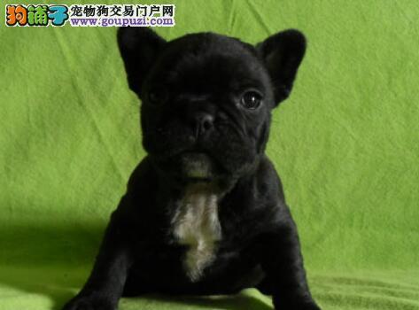 犬场法斗繁育基地 专业繁殖 法斗幼犬包纯种健康签协议