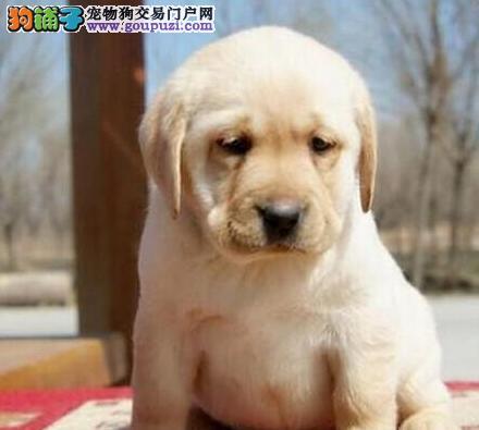 基地直销纯种广州拉布拉多犬品相好签协议