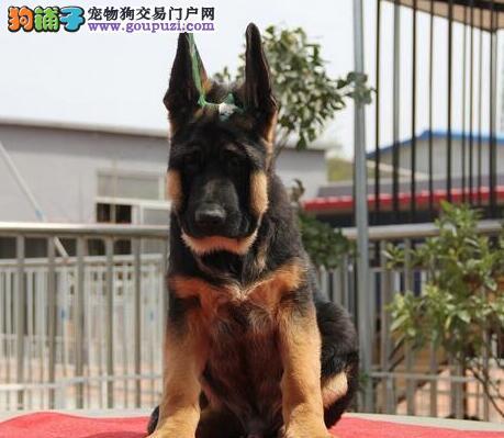 武汉狗场转让大头版健康德国牧羊犬品质保证