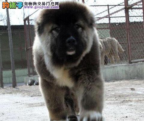 纯种高加索幼犬,假一赔十质量保障,签订活体协议