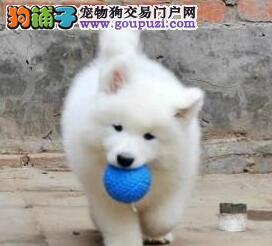 大型犬舍出售精品太原萨摩耶颜色雪白签协议